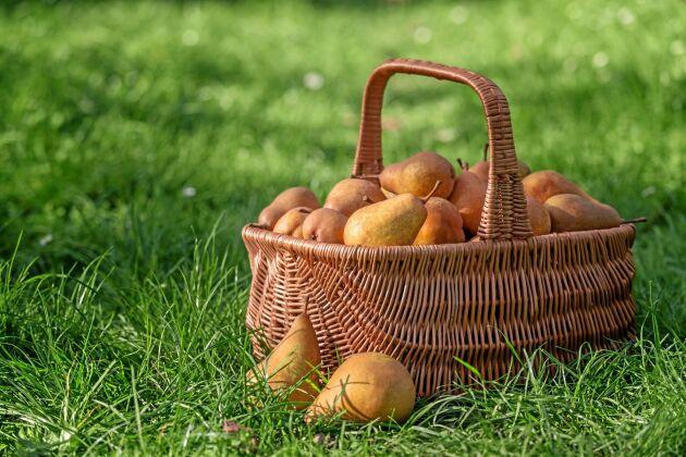 Ät och njut. Päron är supergoda men svåra att lagra.