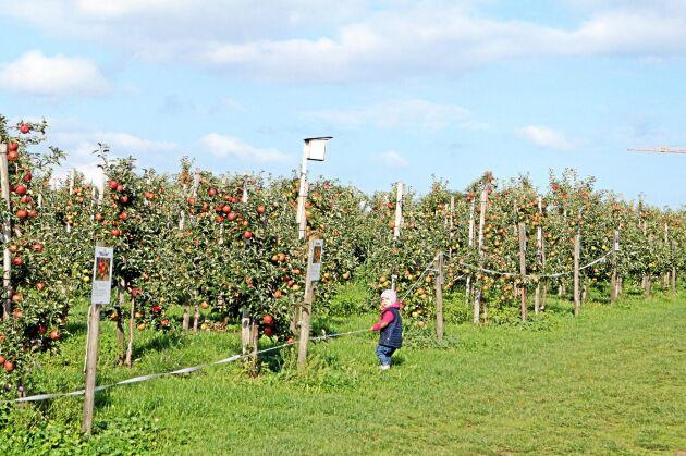 Alla besökare når inte ens till lågt hängande äpplen. Men skörden i Früchtegarten kan bli en upplevelse ändå.