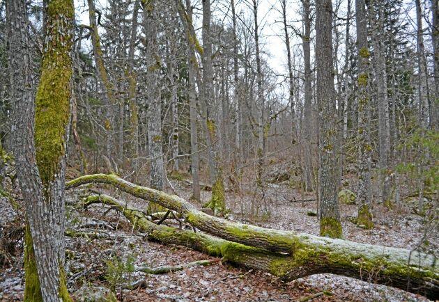 En del av nyckelbiotoperna på Rungarn består av sammanhängande äldre, självföryngrad ekskog, en ovanlig syn så här pass långt norr ut.