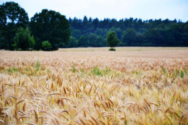 Ett hektar effektivt och miljövänligt odlat höstvete binder 8-9 ton koldioxid per hektar - netto, skriver ATL:s krönikör Kersti Linderholm.