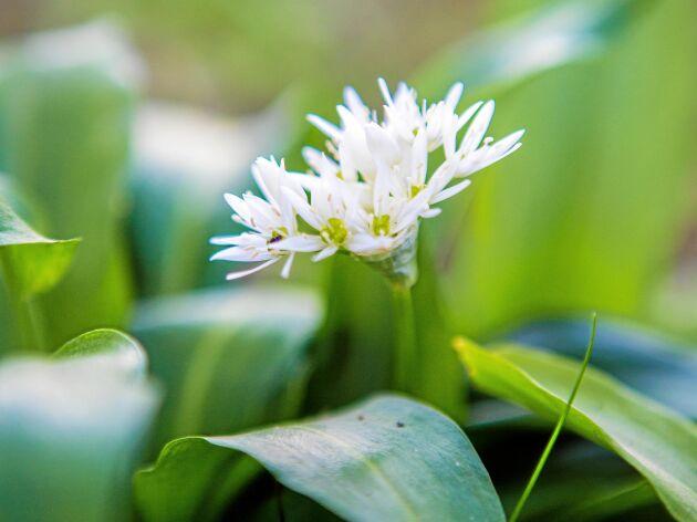 Malena vill dela med sig av sin passion för ramslök. Som att dess blommor är vackert vita och skira.