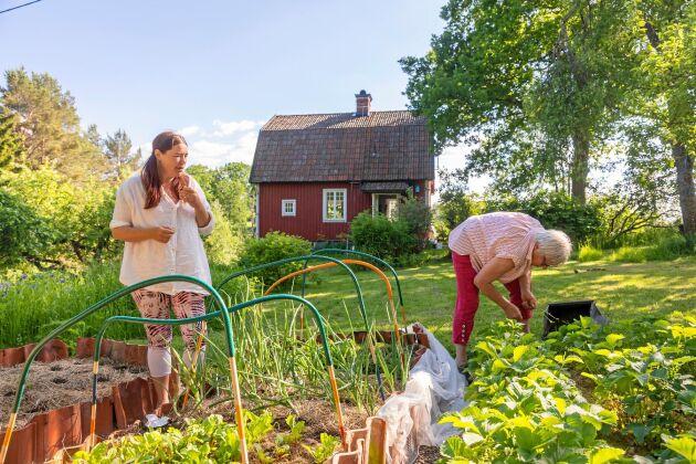 Grönsaks- och jordgubbslanden ska rensas och skördas. Ann-Charlotte och Ingrid jobbar sida vid sida.