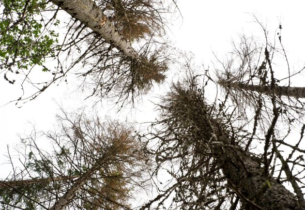 Träd som skadats av granbarkborre. I framtidens klimat kan skadeangreppen öka när det blir varmare och torrare.