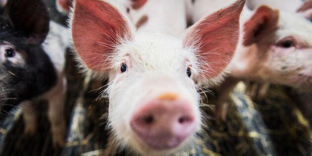 Ovanlig salmonellatyp på drabbad grisgård