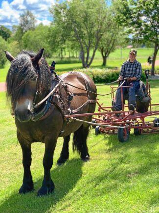 Fyraåriga hästen Sjols Brodd går på upplärning.