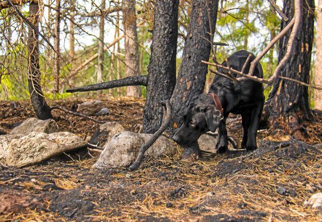 Labradoren Knastra markerar doften av en glödhärd och markerar den genom att frysa, en så kallad frysmarkering.