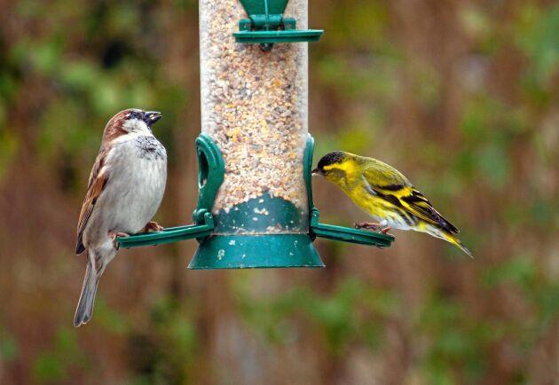 Bra exempel på fågelmatare där fåglarnas avföring inte kan hamna bland fröna. Till vänster en gråsparv och till höger en grönsiska.