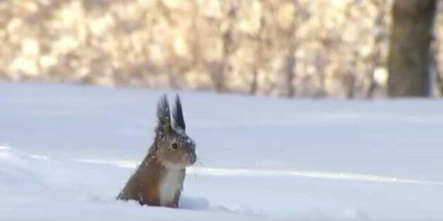 Tittut! Se en ekorre göra det bästa av snön