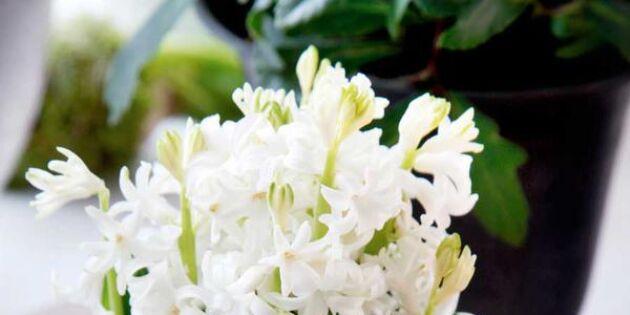 Älskade hyacint: 10 sätt att dekorera med julens blomma