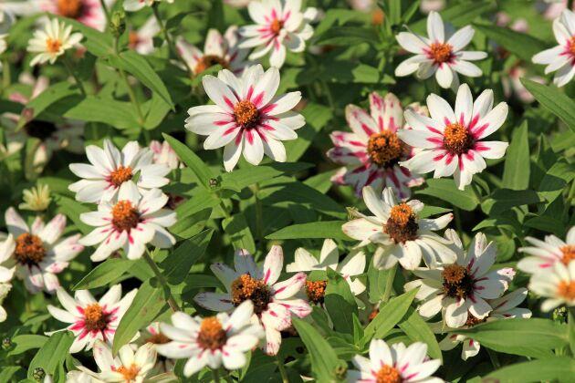 En enkel Marylandzinnia som gör det svårt för sig med vitt, knallrosa och klargula stjärnor i mitten. Namn 'Zahara Starlight Rose'.