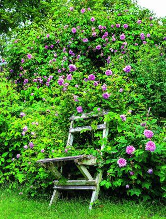 'Blush Damask' och 'Königin von Dänemark' i skön samvaro med en gammal trädgårdsstol. Klätterrosen 'May Queen' i bakgrunden.