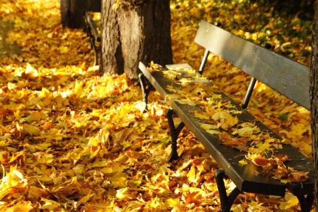 Gul höst eller röd? Löven prasslar lika fint oavsett vad det blir.