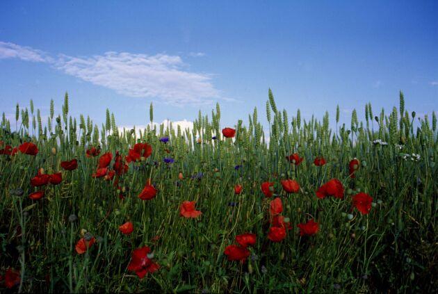 Olika blommor som blommar olika tider ska fylla gapet mellan de grödor som växer i lantbruket.