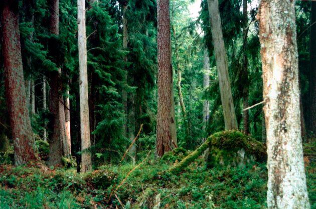 Lysings urskog i Ödeshög.