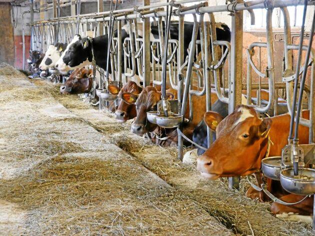 Majoriteten av svenska mjölkkor går i lösdrift.
