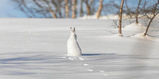 Djup snö gynnar vissa djur – och drabbar andra