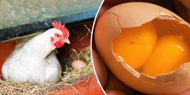 Äggmysteriet! Därför kan det vara två gulor i ett ägg