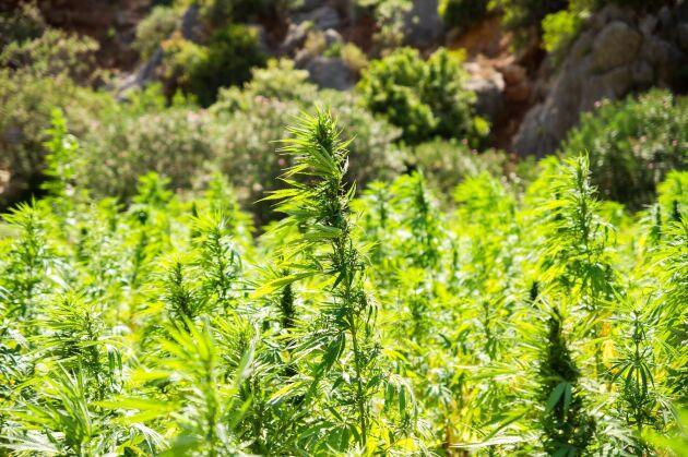 Tusentals cannabisodlingar hotas av den stora skogsbranden i norra Kalifornien.