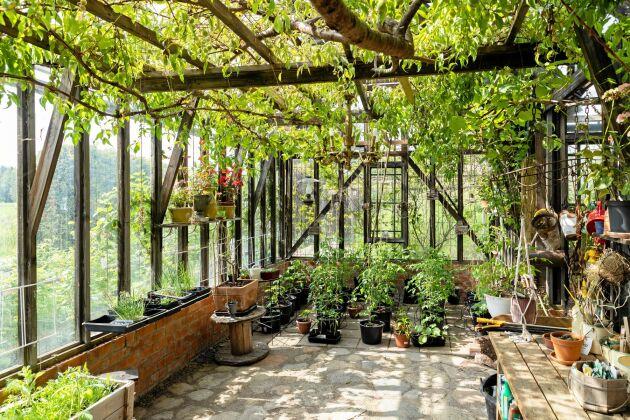 Persikoträdet dignar av frukt. Alla uppåtgående skott klipps bort om hösten för att blad och grenar ska bilda ett lagom skuggande tak åt tomaterna.