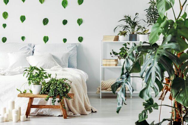 En stor monstera ger mycket grönska i ett sovrum.