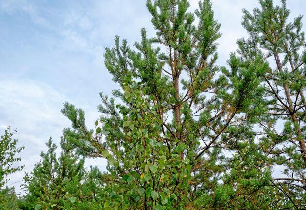 Lövträd är ofta de första som etablerar sig efter en skogsbrand efter som dess frön sprids med vinden. Nu har tallen börjat nå en höjd mellan fem och sex meter i landskapet.