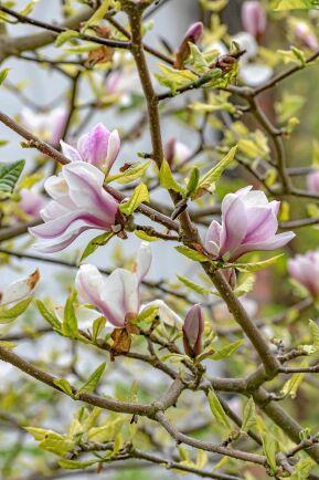 'Beata' blommar länge med vackra, rosavita blommor.