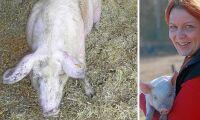 Så lyckas du som grisproducent