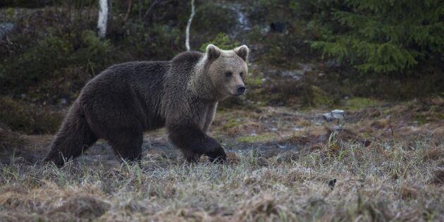 Förbjuden åtel misstänkt efter björnjakt