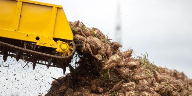 Satsning på att flera ska odla sockerbetor