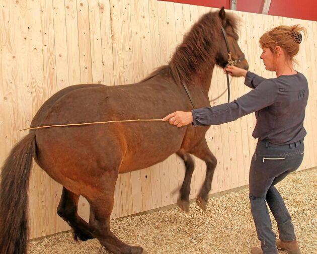 Man måste vara varsam när man tränar hästarna. Ridspöet som används är så tunt att det går av om det skulle missbrukas, berättar Elise.