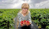Fler insekter lika med bättre jordgubbar