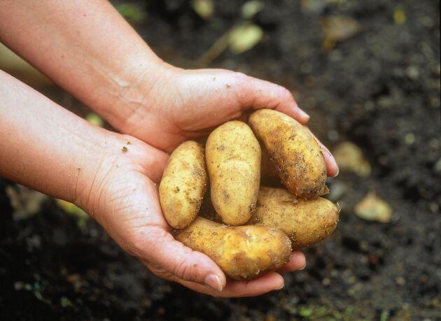 Sommarens torka har gett en historiskt låg skörd av matpotatis.