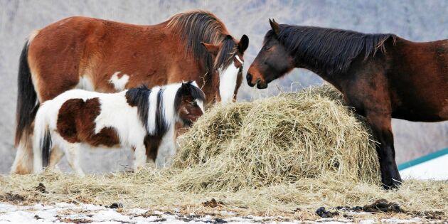 Svensk studie visar att halm inte är farligt som foder till hästen