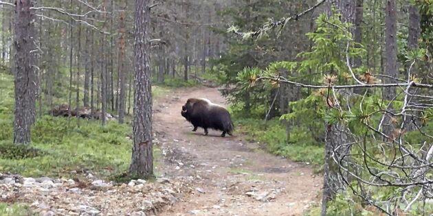 Thomas mötte en frustande myskoxe i skogen - se den häftiga videon!