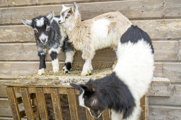 Just nu finns det många killingar hemma på gården i Bondersbyn. Kalix Ost säljer även skinn från stora och små getter.