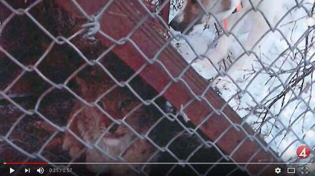 Enligt åtalet ska lodjur ha plågats i bur.