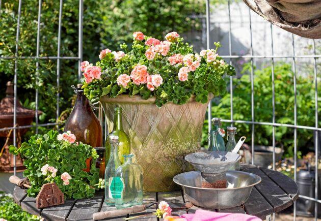 Pelargonen är alltid en favorit på balkongen!