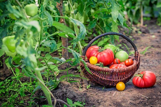 Håll koll på temperaturen. Lagom varmt ger mer frukt.