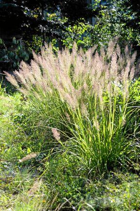 6) Diamantrör, Calamagrostis brachytricha, är ett fint gräs med silverrosa plymer och sirligt hängande blad. Blir 120 centimeter hög och är värdefull i höstträdgården.