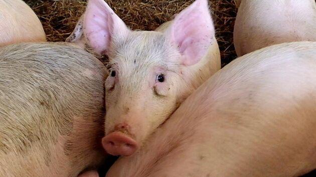 Arkivbild, grisen på bilden kommer inte från någon av gårdarna i artikeln.