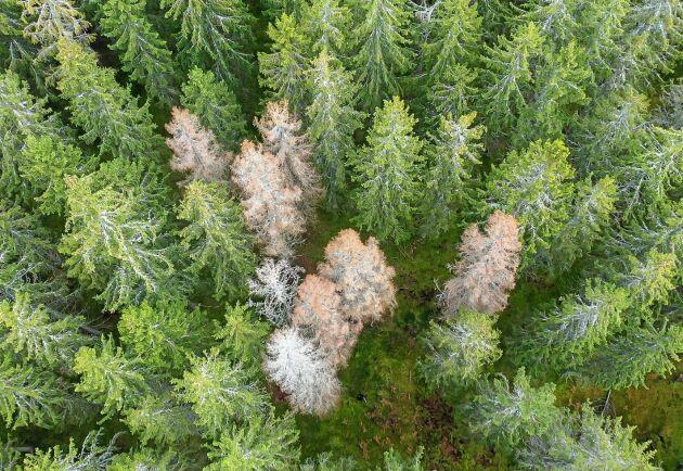 Nu börjar nästa generation granbarkborrar kläckas, vilket innebär nya angrepp på träden.