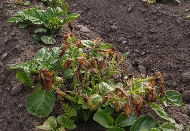 Även om insekterna håller låg profil har frosten varit ett problem. Här är det frostskadad potatis i Stockholm.