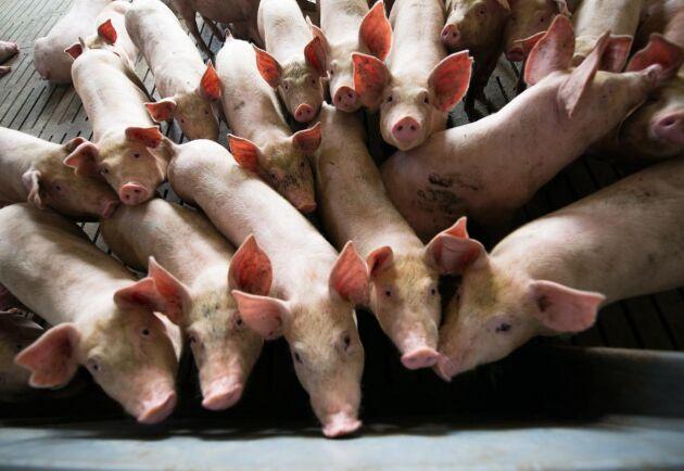 Filippinerna blev det nionde landet i Asien att drabbas av den afrikanska svinpesten.