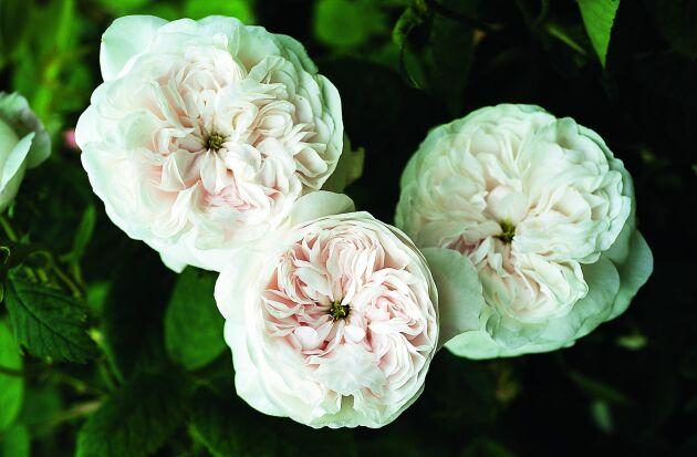 'Mme Hardy' blommar inte länge men doften är rik av lime och sommaräng.