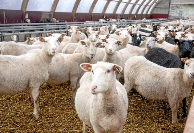 Fåren på gården är av raserna Finullsfår och Dorset. Korsningsullen har gått från att ha dåligt rykte till att efterfrågas av bland annat modeföretaget Filippa K och friluftsmärket Röjk.