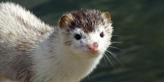 Djurrättsläger slutade med minkutsläpp