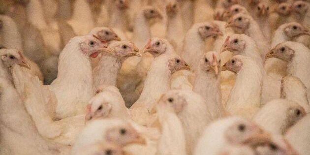 Frigående fjäderfä för finska företag