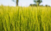 Korn kan få viktig roll vid läkarundersökningar