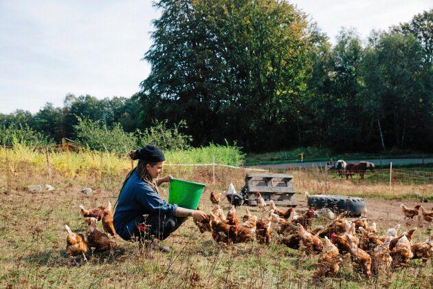 Utfordring av gårdens drygt 80 höns, som strövar fritt och pickar.