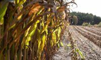 Startskott för skörd av majs